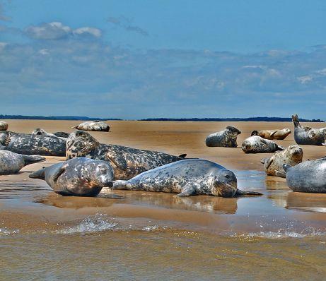 Grey_seals,_Stiffkey,_Norfolk